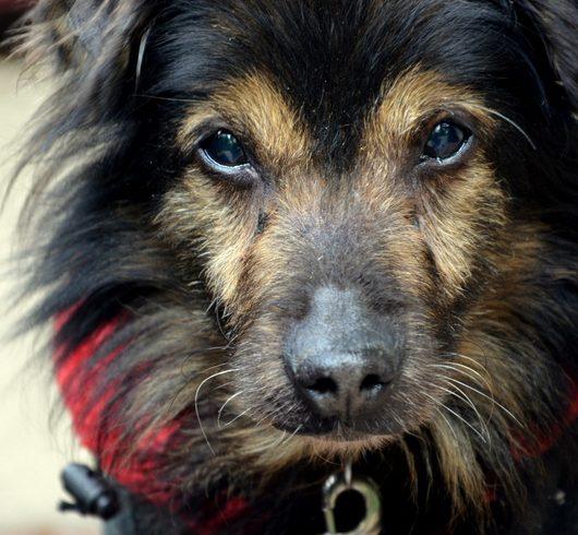 ZA TM: Wyłysiała psia sierotka MISIEK z Cushingiem. Co będzie … ?
