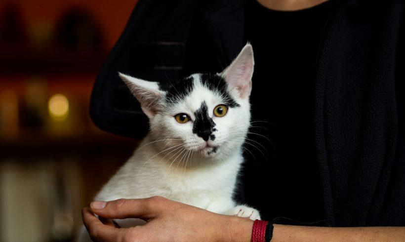 KOTKA MA DOM: Elli ze słodką plamką na nosku, dwumiesięczna kotka szuka domku