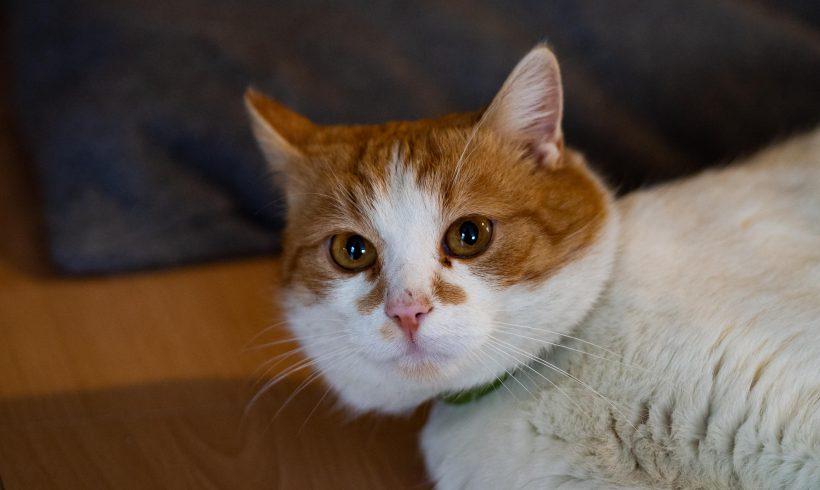 KOT MA DOM: JAZZ, co kotu w Duszy Gra ;-) Do adopcji piękny biało-rudy kociak :-)