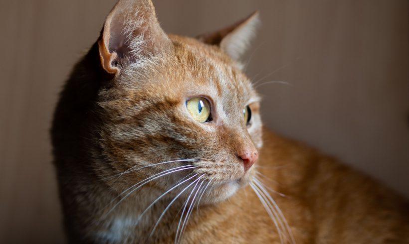 KOTY MAJĄ DOM: Ericson i August III, osierocona para miłych kotów szuka nowych opiekunów