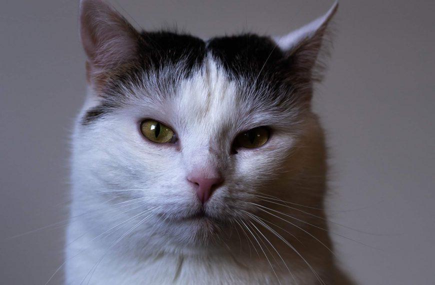 KOT DO ADOPCJI: Sofia, imię zobowiązujące do piękności. Szukamy miłej kotce domu.