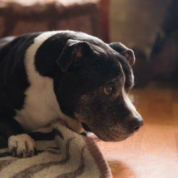 POMAGAMY: Demon – starszy łagodny pies po przejściach